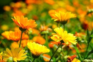 Flowers Name in Hindi and Fruits Name in Hindi